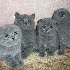 Шотландские вислоухие и страйты котята ждут новых хозяев